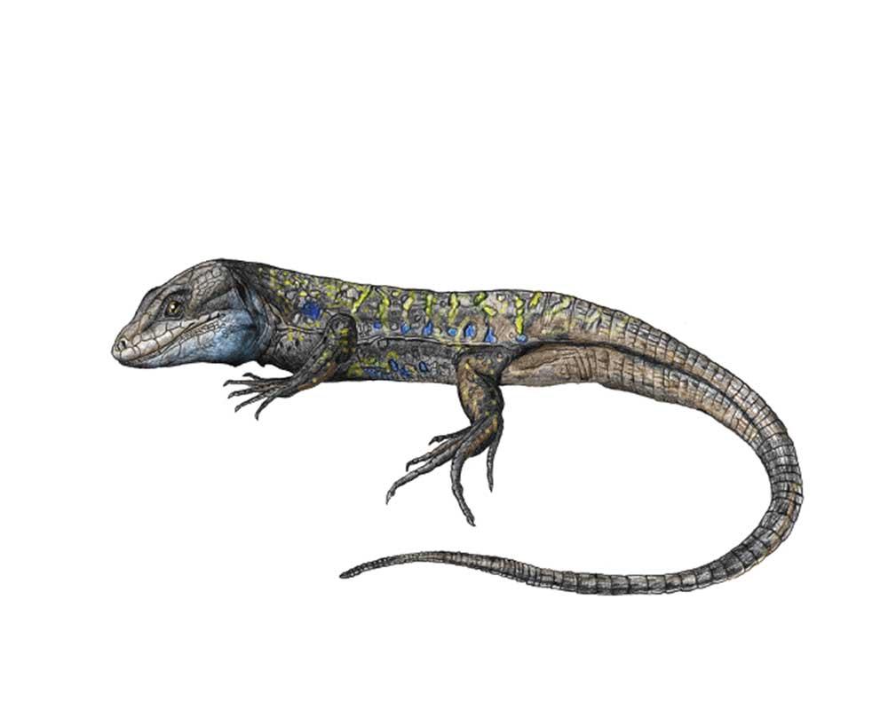 Lagarto Tizon - Aspecto general de un ejemplar macho de lagarto tizón Gallotia galloti