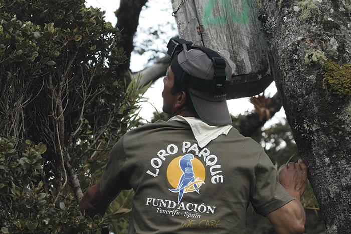 Loro Orejiamarillo en Colombia / Loro Parque Fundación