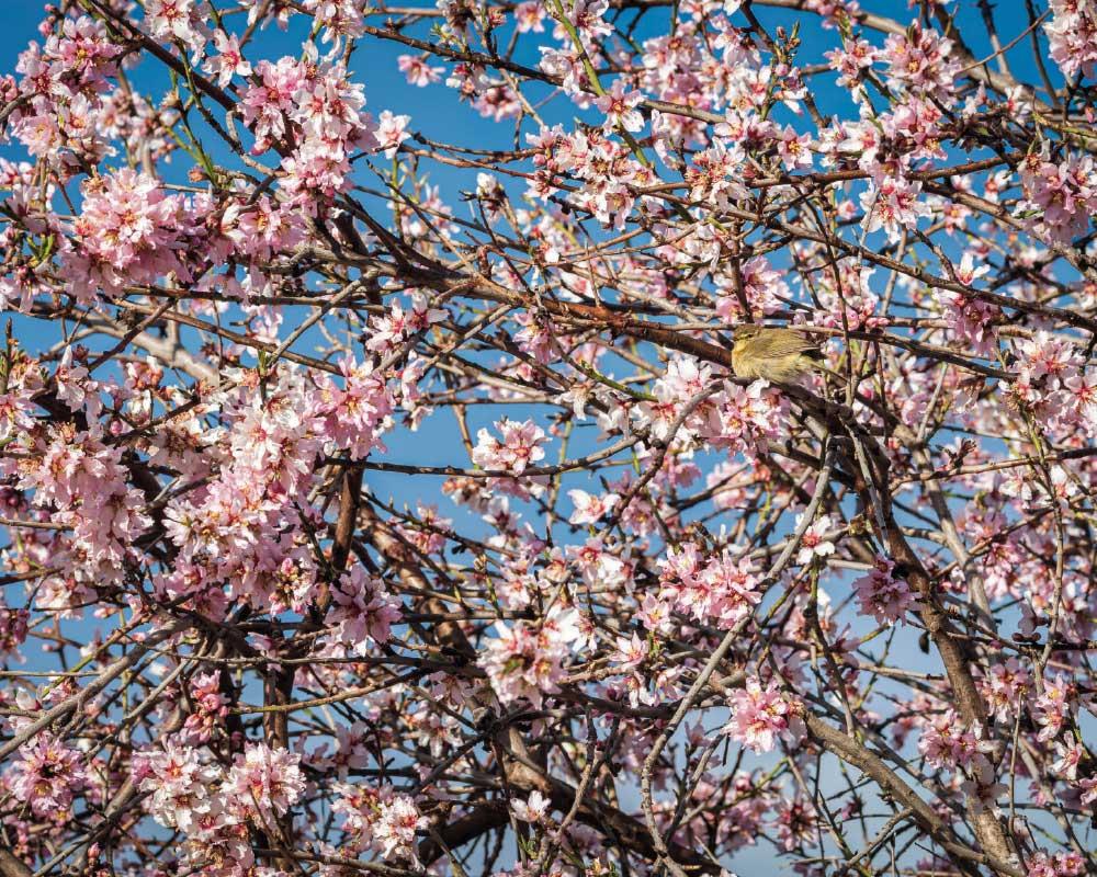 almendros en flor | FOTO: GOYO OLIVA