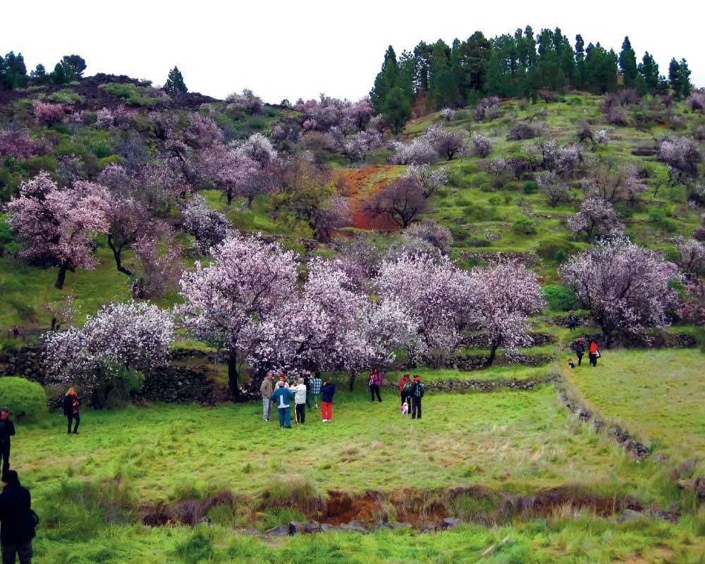 Santiago del Teide florece ruta del almendro en flor | FOTO: GOYO OLIVA